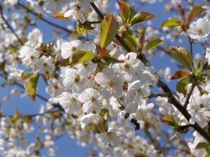 Wild_Cherry_Flowers